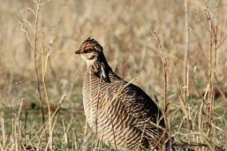 Lesser Prairie Chicken (LPC) Resource Center