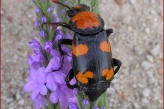 New Home prepared for endangered American Burying Beetles