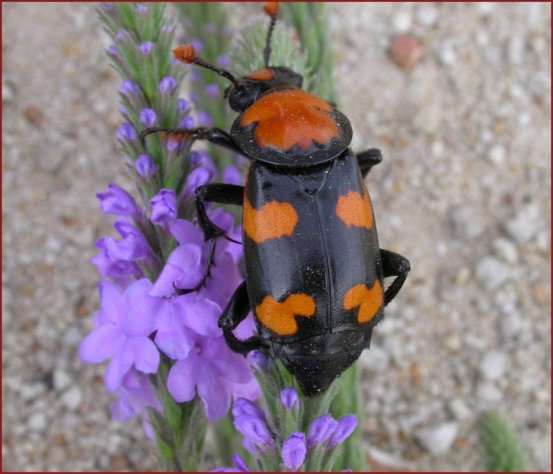 New Home prepared for endangered American Burying Beetles