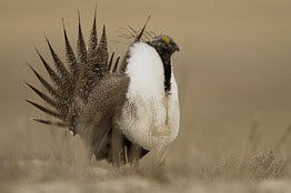 Sage Grouse Rebellion: Will listing of two small birds limit oil drilling in the West?