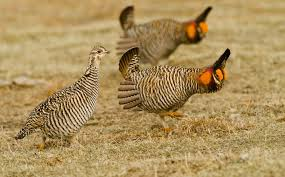 Conservation Groups Challenge Limited Protections for Lesser Prairie Chicken