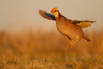 Funds meant for lesser prairie chicken conservation misused: AP News